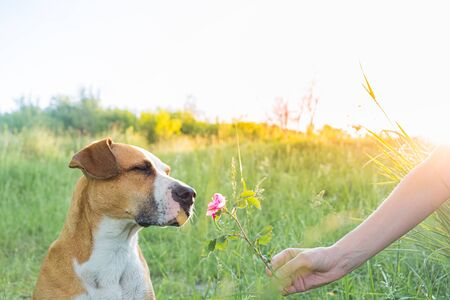 Dog with closed eyes enjoys sniffing a flower in the field. Human gives a cute puppy a wild rose  outdoors, owner and pet bond concept.