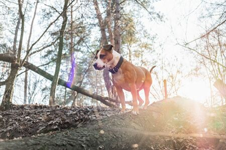 Dog in the forest standing on a log in opposite light. Color edited backlight shot of a mixed breed dog at a forest walk in direct sunlight