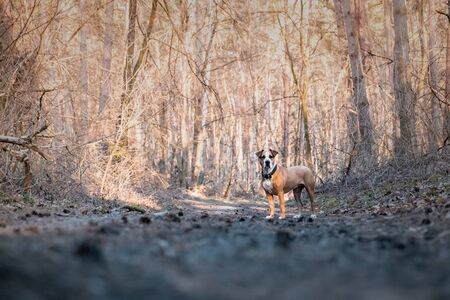 Dog in the forest standing on a trail. Mixed breed dog at a forest walk on a lovely spring day