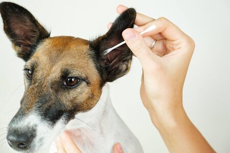 Human hand cleans a dog's ear with a cotton ear stick, close up view. The concept of caring for dog's health and ear hygiene, dog ear infections and discharge