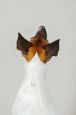 Back view of dog's back on white studio background. Close up view of dog sitting with her back to the camera and looking up.