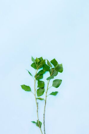 Young thin branches of popplar with green leaves in blue background. Youth, spring and nature associated image of tender cottonwood leaves in vivid background