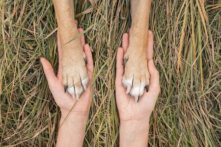Human hands hold dog paws in autumn grass background. Dog paws lie on human palms on autumn grass background, concept of trust and friendship between pet owner and dog Stock Photo