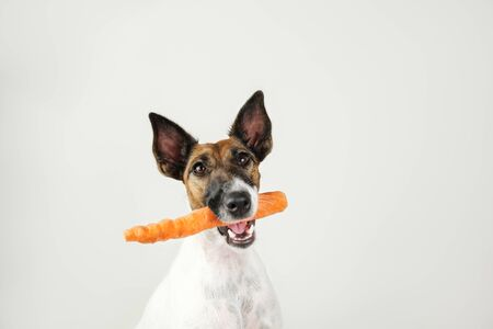 Young fox terrier dog with a carrot in mouth. The concept of caring for dog's health, proper balanced natural nutrition and dental hygiene Stock Photo
