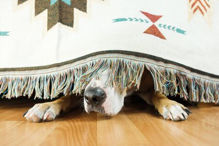 Le chien se cache sous le canapé et a peur de sortir. Le concept de l'anxiété du chien à propos des orages, des feux d'artifice et des bruits forts. Santé mentale de l'animal, émotivité excessive, sentiment d'insécurité.