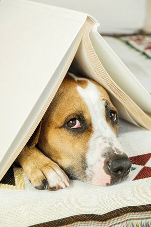 Young dog under a book in the form of a house roof and looks up frightened. The concept of dog's anxiety about thunderstorm, fireworks and loud noises. Pet's mental health, excessive emotionality, feelings of insecurity. Stock fotó