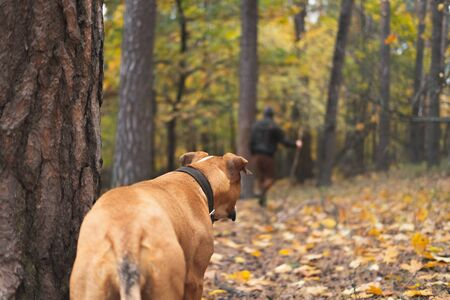 Dog looks at a person walking away in the forest. Concept of pursuit, leaving a pet in the woods or hiking with  a dog: staffordshire terrier dog watches back of a human going away