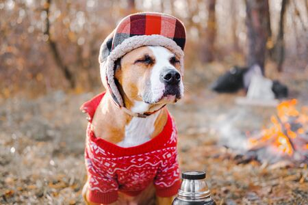 Portrait of a dog in warm sweater and lumberjack hat outdoors. Staffordshire terrier sits by the fire at a campsite and enjoys chilly autumn weather