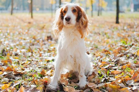 Portrait of purebred russian spaniel. Cute spaniel dog sits among autumn leaves in grass at a park Stock Photo