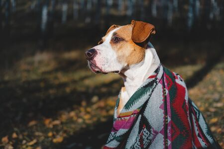 Hero shot of a hiking dog in  the autumn forest. Staffordshire terrier dog in an aztec poncho sits among the birch trees, concept of active rest