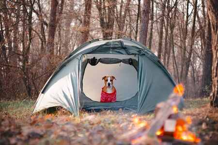 Funny dog in a knit sweater sits in a tent by the campfire. Hiking dog, active pets concept: staffordshire terrier enjoys autumn weather in the forest on a hike.