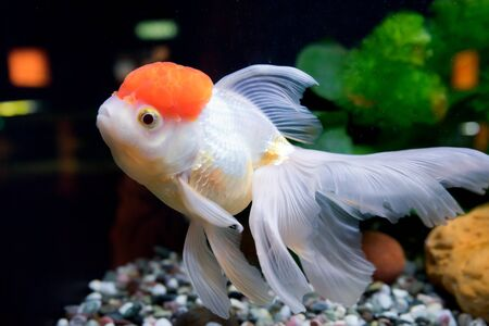 snag: Goldfish in aquarium with green plants, snag and stones