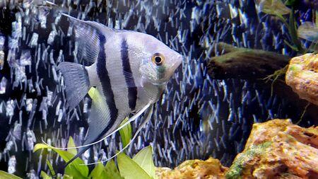 Angelfish - Pterophyllum scalare in aquarium