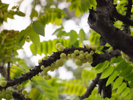 a group small yello berries known as otaheite gooseberry, star goosebeery, Malay goosebeery, and Tahitian gooseberry or phyllanthus acidus on the tree, located in Thailand Stock Photo