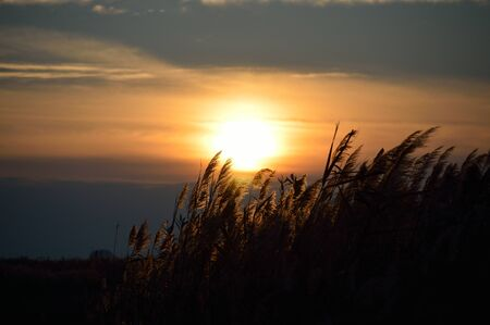 common reed: common reed at sunset in tuscany