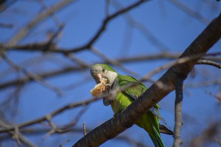 groene myopsitta monachus aan de boom