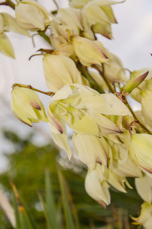 White flowers of yucca stock photo picture and royalty free image stock photo white flowers of yucca mightylinksfo