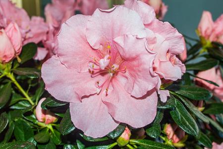 Rhododendron alzalea