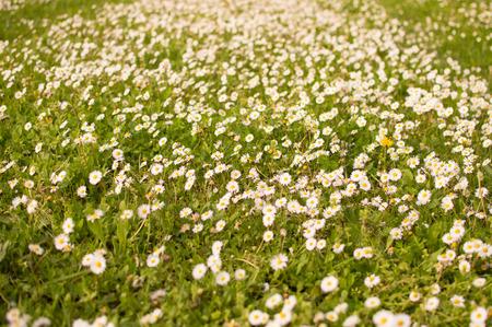 meadow of daisies Standard-Bild