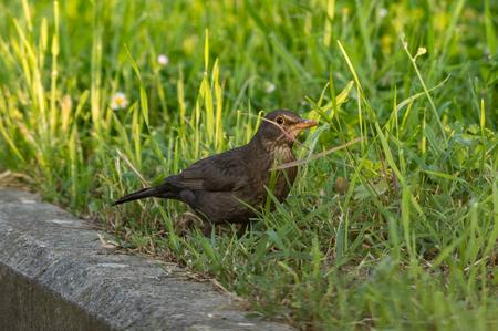 female blackbird Standard-Bild