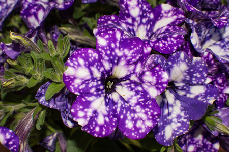 purple petunia with white spots