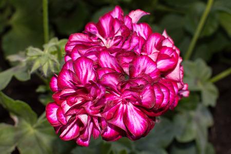 pink geranium double petals Standard-Bild
