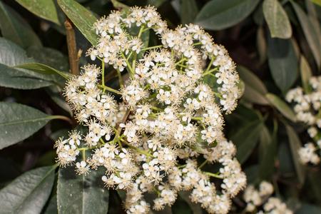 flowers Photinia serrulata Standard-Bild
