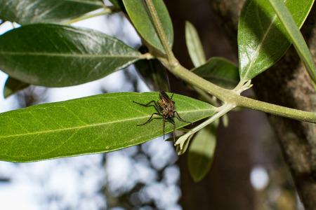 predatory fly Standard-Bild