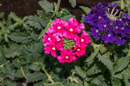 verbena pink and violet