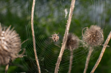 spider that builds the spider web