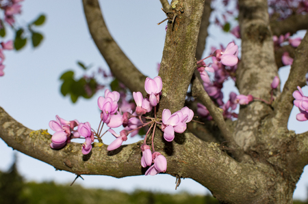 flowers Judas tree Standard-Bild