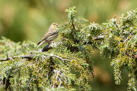 Greenfinch on tree Banco de Imagens
