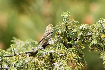 Greenfinch on tree Standard-Bild