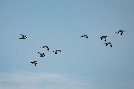 Bird fly in formation Standard-Bild