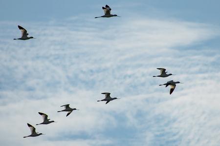 avocet in flight