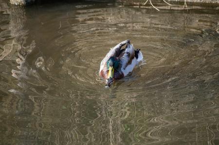 Mallard in the lake Standard-Bild