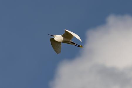 heron in flight in the blue sky