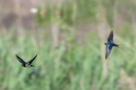Swallow in the spring flight Standard-Bild