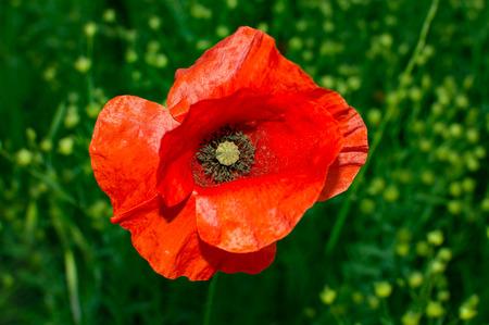 red poppy close up Standard-Bild