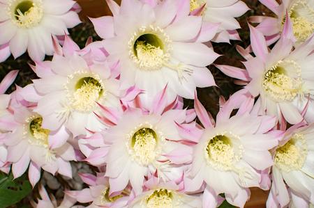 flowers of cactus