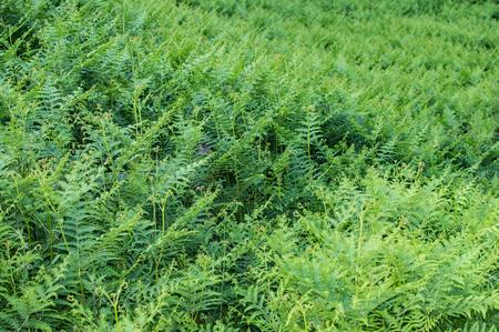 forest of ferns Standard-Bild