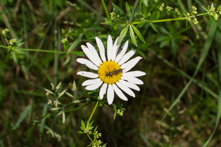 insect on the chamomile