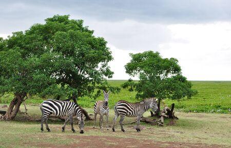 Three Zebras in Africa
