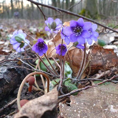 Hepatica Nobilis, Anemone hepatica, Hepatica, first spring flowers in the blurred background