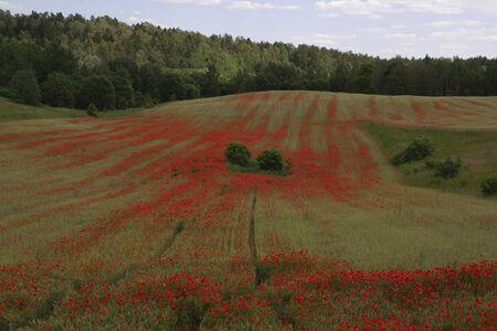 Wonderful red poppies in summer, blooms in the fields 版權商用圖片