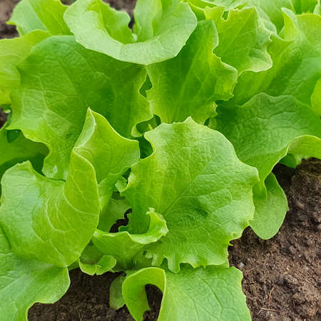 Concept of gardening eco friendly organic fresch lettuce leaves growing in the garden. Copy space, green background Stockfoto