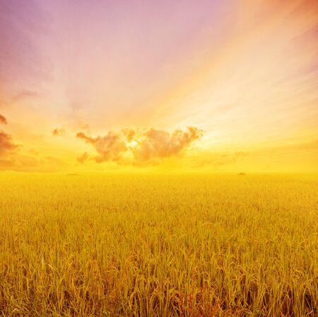 paddies: Rice paddies golden evening sunset. Stock Photo