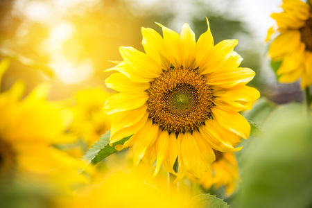 Beautiful yellow sunflower and golden light of the sun.