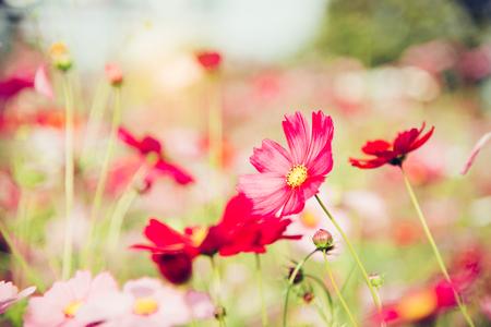 Red cosmos bloom in the garden Foto de archivo