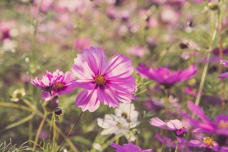 Pink cosmos bloom in the garden is beautiful Foto de archivo